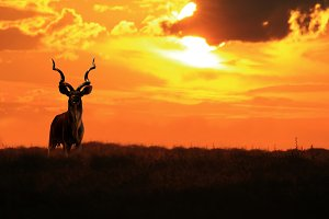 Kudu Bull - King of Twirl and Curl