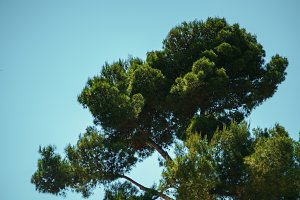 giant green spruce tree in Barcelona