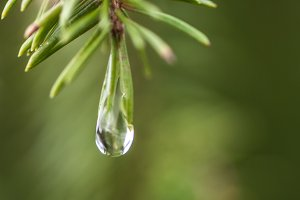 Fir tree / rain drop