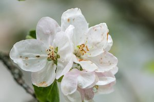 Apple blossom / rain