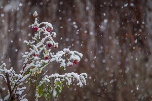 Snow falling over the rose flower