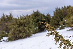 Juniper branch close up