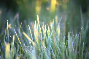 Dew on grass in the morning