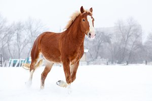Bay stallion trotting on winter field