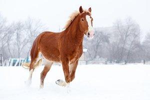 Bay stallion trotting on winter field