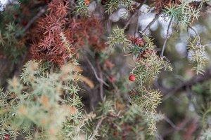 Juniper berry close up