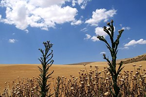 Wheat, thistles, mallows, blue sky