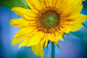 Macro photo of fresh Sunflower on a blue background