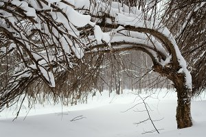Trees covered with snow in the winter forest. Shallow depth of field.