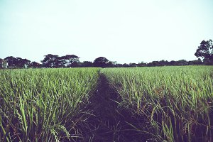 Path Of The Rice Field