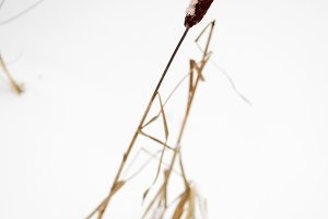 Cattail on snow covered pond, shallow depth of field