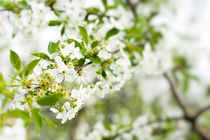 picture of blossom cherry tree