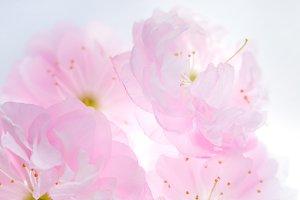 Pink flowers of sakura background