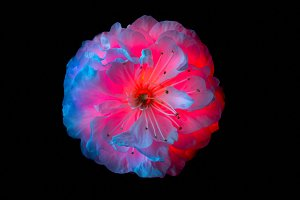 Surreal pink and blue flowers of sakura macro isolated on black