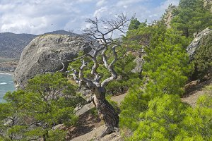 Dried relict pine on the mountains
