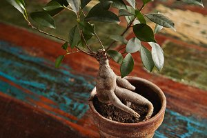 Ficus bonsai tree on old wooden table