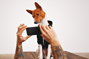 Basenji dog in hoodie with smartphone