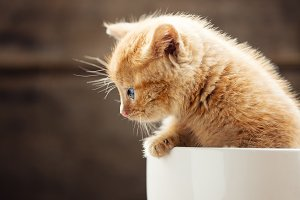Red kitten in a white cup.