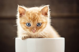Red cute kitten in a white cup.
