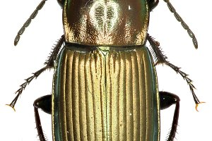 Ground Beetle Poecilus