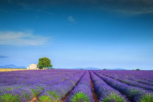 Magical lavender fields in Provence