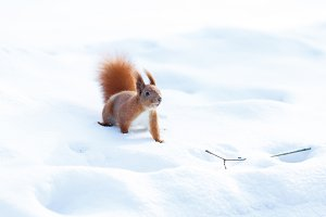 Cute red squirrel looking for food on the snow