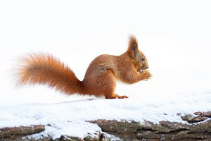 Cute red squirrel holding a nut on the snow