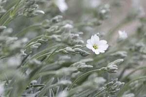 Lonely white flower in wavy green grass