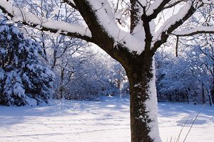 Tree with Snow in Park in Winter