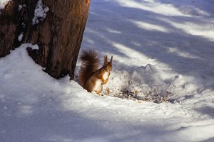 Squirrel in Winter #03