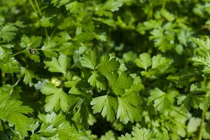 fresh green parsley leaves as background