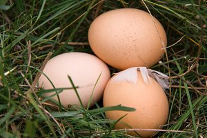 three chicken eggs lying in a green grass
