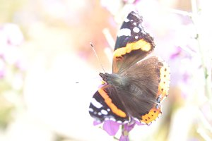 Red Admiral: Glow