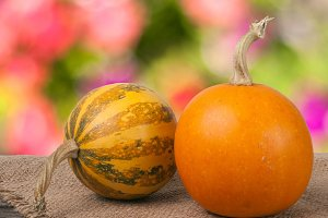 Orange and striped decorative pumpkins on a wooden table with sackcloth  blurred garden background