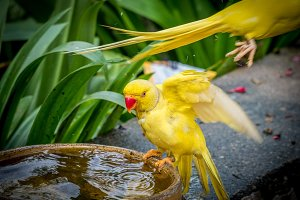 Colorful yellow parrot, standing on the bowl