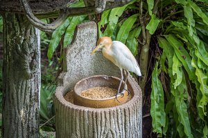 Cattle egret in the park
