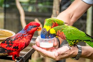 Australian Rainbow Lorikeet on a human hand
