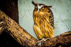 Buffy Fish Owl portrait