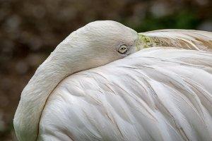 Close up greater flamingo