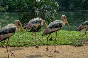 Gruop of a yellow-billed storks