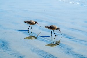 Pair or Long-billed Curlew. Numenius americanus
