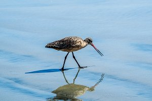 Long-billed Curlew. Numenius americanus