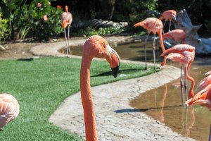 Group of pink flamingos in the park