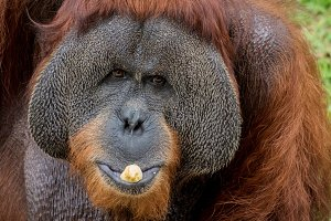 Close up portrait of Orangutan eating banana