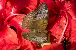 Butterfly on hibiscus flowers