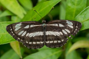 Common Sergeant, Butterfly