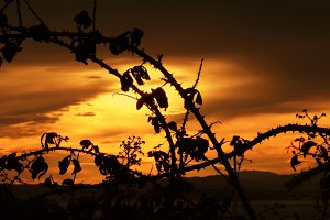 Backlit silhouettes of blackberry