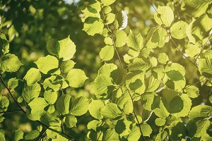 Sunny green leaves