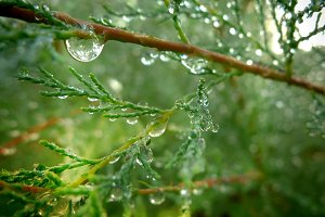 Dew drops over leaves of cypress