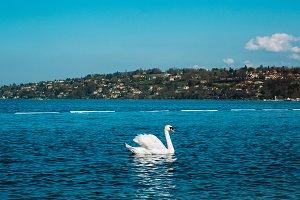 Graceful white Swan on a lake